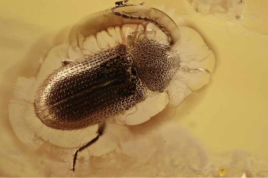 DRYOPHILINAE Death-Watch Beetle Ptinidae Genuine BALTIC AMBER 2665