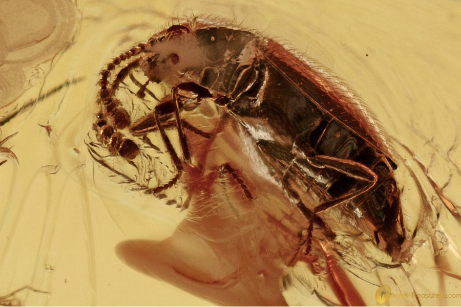 SCYDMAENINAE Eutheia Ant-like Stone Beetle BALTIC AMBER 2668