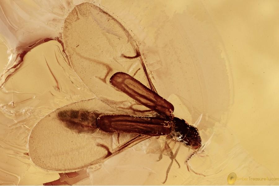 TELEPHONE-POLE BEETLE Micromalthidae Micromalthus BALTIC AMBER 2672