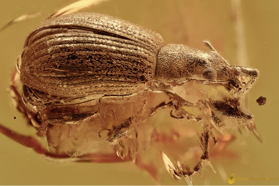 ENTIMINAE Broad-nosed Weevil Curculionidae Paonaupactus BALTIC AMBER 2670
