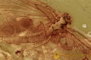 LATRIDIIDAE Latridius alexeevi & Spread Wings MAYFLY Inclusion BALTIC AMBER 2532