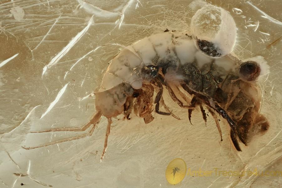 FRESHWATER SHRIMP Amphipoda Gammaridea Crangonyctidae BALTIC AMBER 2573