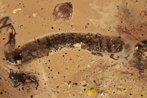 BIG Unusual Coleopteran Larvae TENEBRIONIDAE BALTIC AMBER 2622