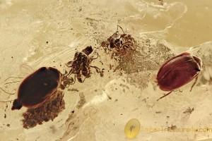 GREAT SCENE 2 Flowers & Pair of Marsh Beetles BALTIC AMBER 2636