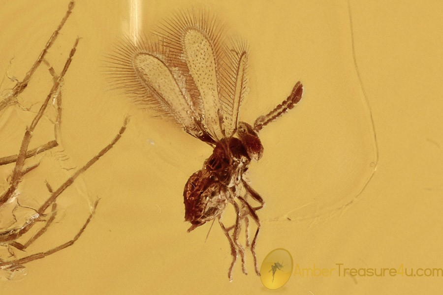 FAIRYFLY Microscopic Wasp Mymaridae Midge LAYING Eggs  BALTIC AMBER 2694