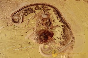 ACTION ! NEMATODA Round Worm Emerging from Ant BALTIC AMBER 2697