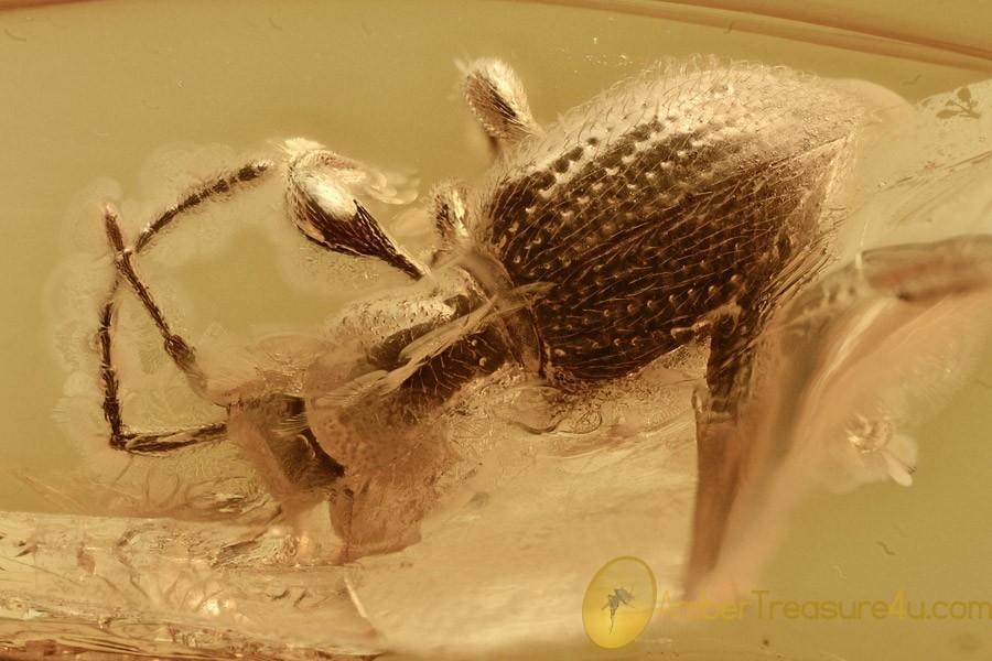 ANT-LIKE STONE BEETLE Scydmaeninae Mastiginae BALTIC AMBER 2700