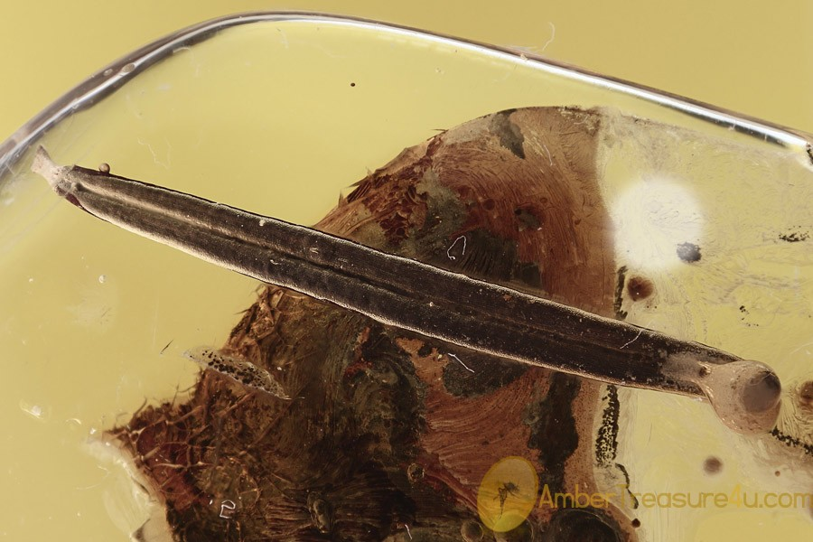 LONG 17mm LEAF with Bubble on Tip Fossil Inclusion BALTIC AMBER 2705