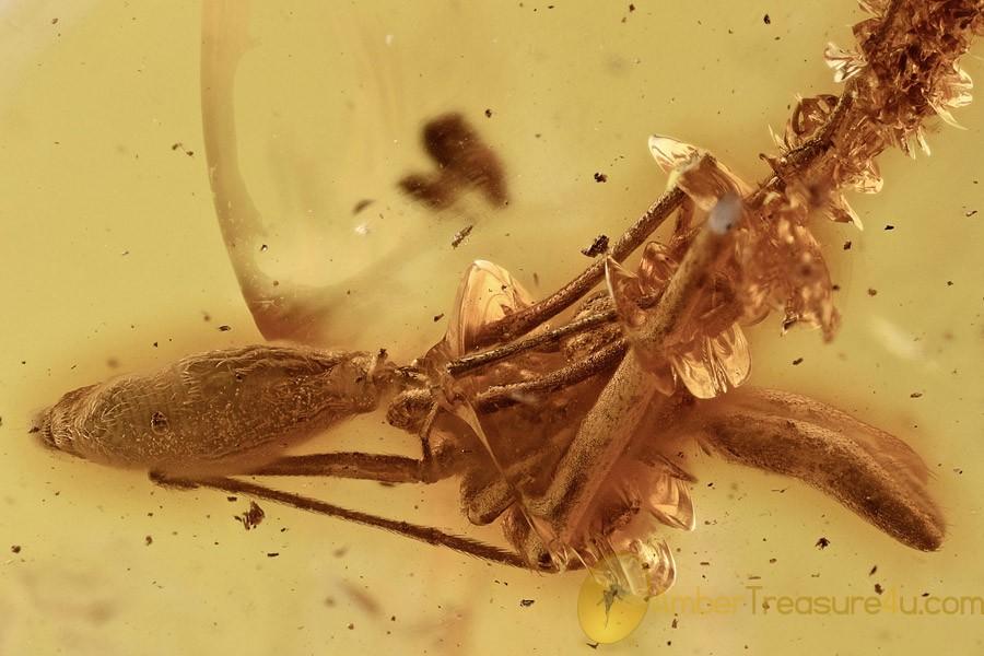 Unusual ASSASSIN SPIDER Elongated Body Archaeidae BALTIC AMBER 2712