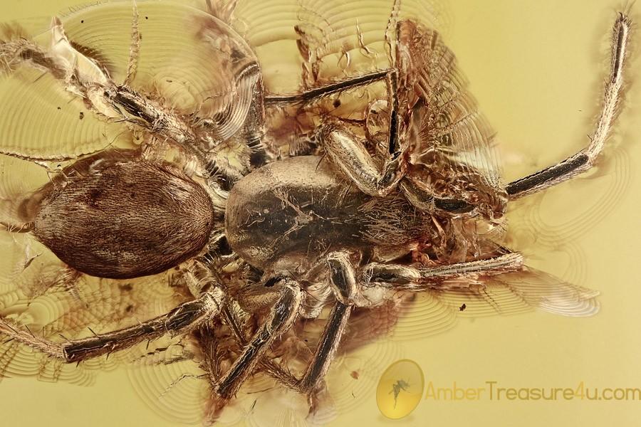 Big SPIDER w Unusual Pedipalps Inclusion Genuine BALTIC AMBER 2713