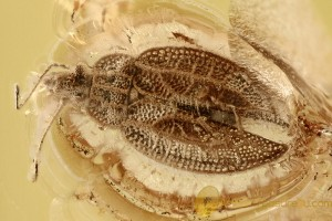 LACE BUG Intercader Weitschati Tingidae Genuine BALTIC AMBER 2723