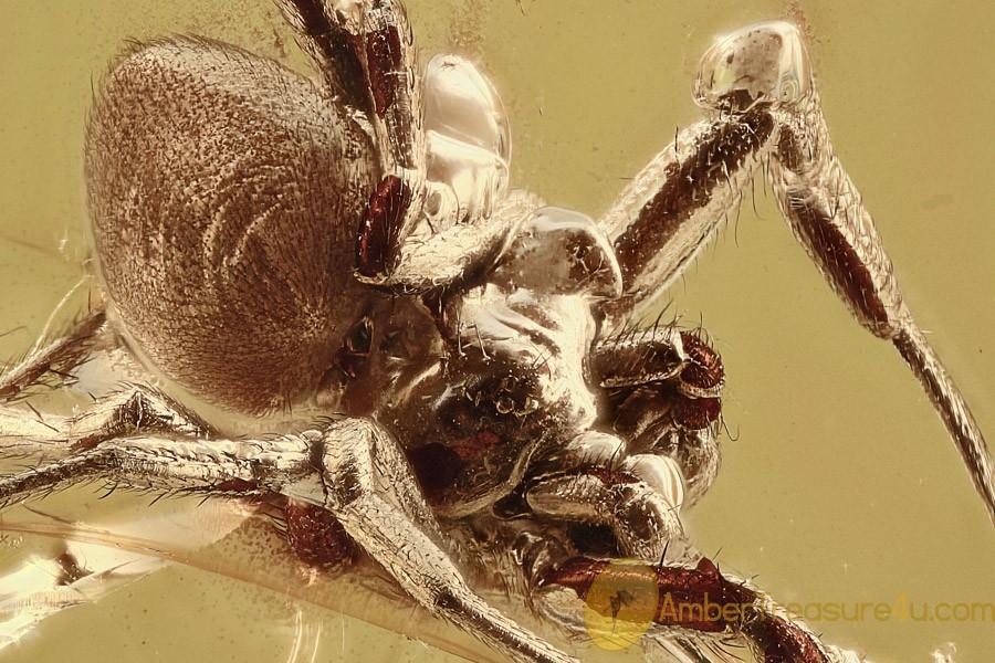 SUPERB Spider Perfectly Preserved Genitalia Genuine BALTIC AMBER 2717