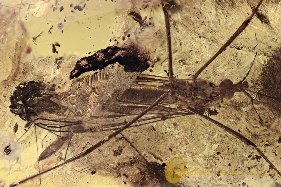 TIPULIDAE Big Crane Fly w Very Large Bunch of Eggs BALTIC AMBER 2721