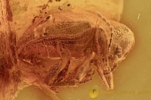 Large LEAF BEETLE Chrysomelidae Eumolpinae Genuine BALTIC AMBER 2730