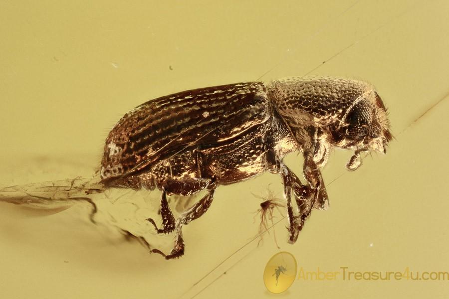 RARE Bark Beetle Scolytinae Taphramites Inclusion BALTIC AMBER 2731