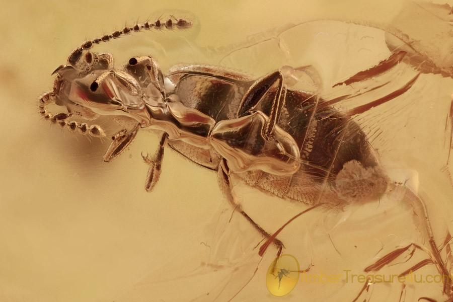 ANT-LOVING BEETLE Faronitae & SPINY ANT Myrmicine BALTIC AMBER 2729