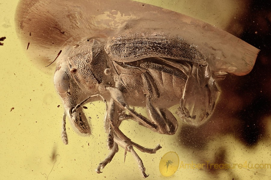 Large Great FUNGUS WEEVIL Anthribidae Glaesotropis BALTIC AMBER 2727