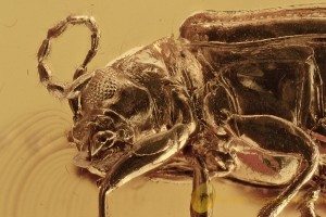 Superb FLEA BEETLE Chrysomelidae Galerucinae Altica BALTIC AMBER 2728