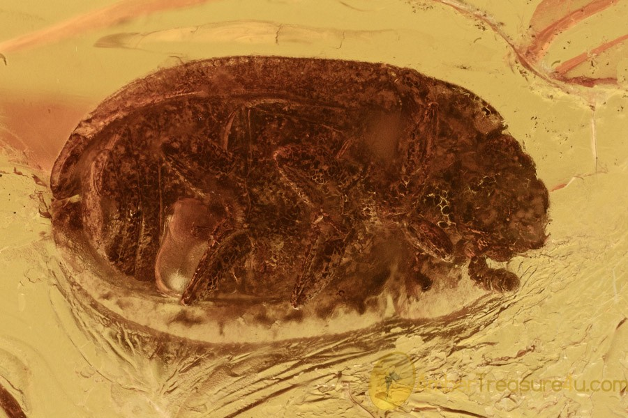 SAP BEETLE Nitidulidae Nitidulinae Genuine BALTIC AMBER 2735