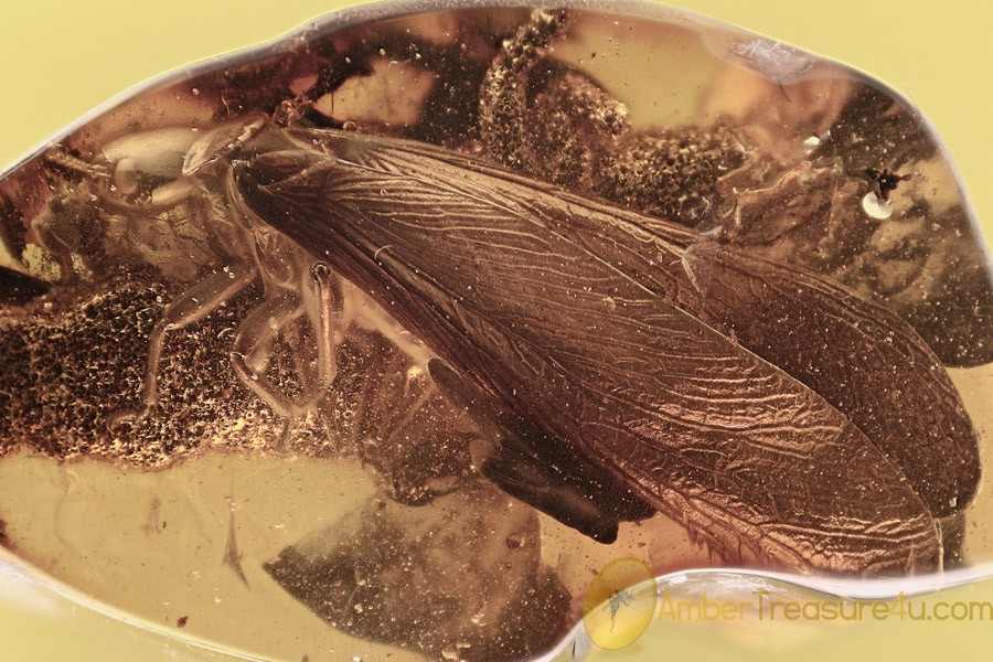 GIANT Mastotermes Winged Termite Isoptera & More BALTIC AMBER 2739