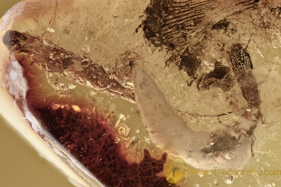 SNAKEFLY LARVAE Extremely Rare Raphidioptera & More BALTIC AMBER 2737