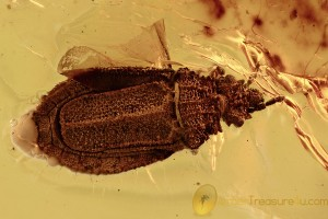 FLAT BUG Aradidae Rare Calisius Balticus Genuine BALTIC AMBER 2747