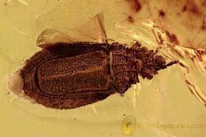 FLAT BUG Aradidae Rare Calisius Balticus Genuine BALTIC AMBER 2747