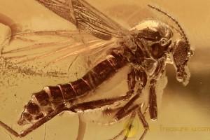 PERFECT Biting Midge Ceratopogonidae Genuine BALTIC AMBER 2743