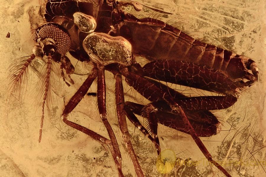 SUPERB Spiny Biting Midge Ceratopogonidae Genuine BALTIC AMBER 2742