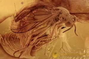 XYLOPHAGIDAE XYLOPHAGIDAE Rare Fly Laying EGGS Genuine BALTIC AMBER 2748