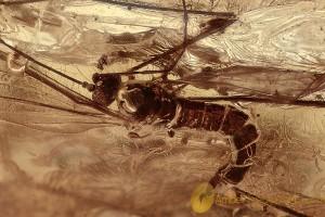 RARE Crane Fly Polymera magnifica Plumose Antennae & More BALTIC AMBER 2757