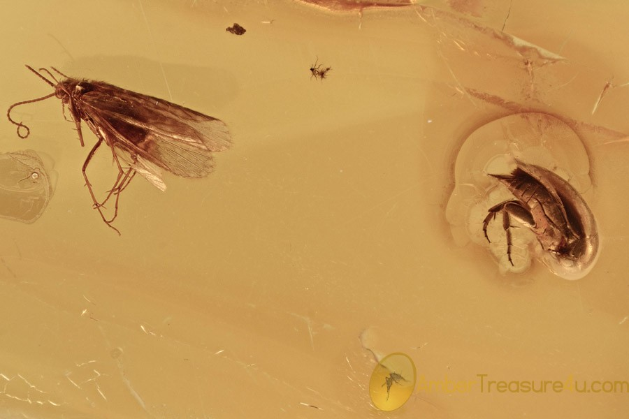 Superb Caddisfly & Tumbling Flower Beetle BALTIC AMBER 2751
