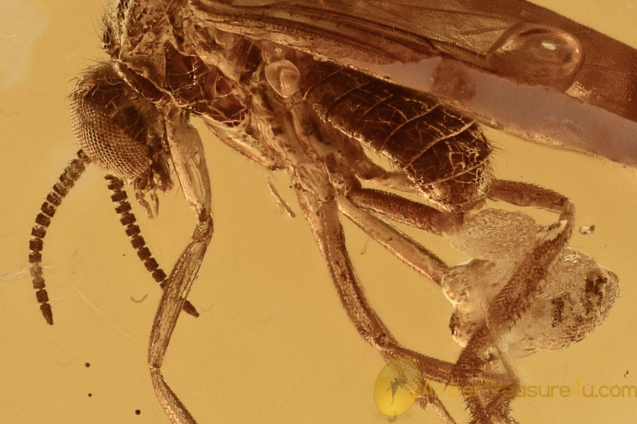 Predatory Fungus Gnat LAYING EGGS Keroplatidae BALTIC AMBER 2753