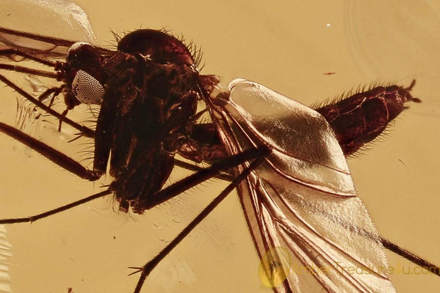 SUPERB Looking Keroplatidae Macrocerinae Macrocera BALTIC AMBER 2754