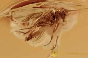 EOHELEA Rare Biting Midge Fossil Inclusion BALTIC AMBER 2761