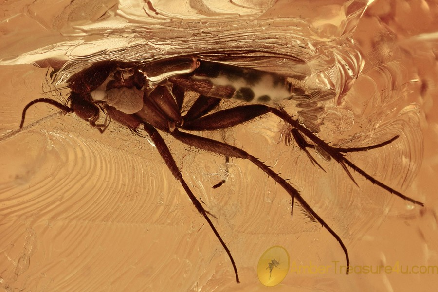 Huge PREDATORY FUNGUS GNAT Laying EGGS Genuine BALTIC AMBER 2767