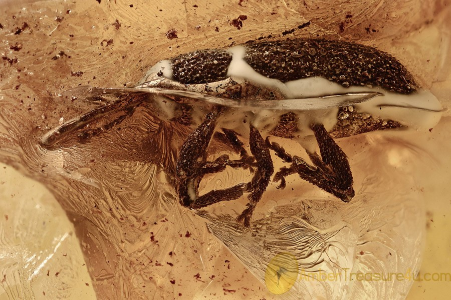 WEEVIL Snout Beetle Curculionidae Electrotribus Genuine BALTIC AMBER 2768