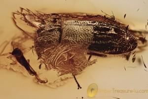 SOFT-WINGS FLOWER BEETLE Melyridae Rhadalinae BALTIC AMBER 2769