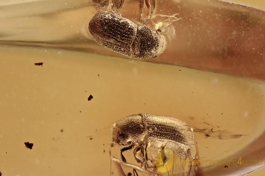 2 CRENULATE BARK BEETLES Scolytinae Hylesini Fossil BALTIC AMBER 2773