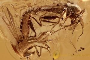 PERFECT Mating Biting Midges RAPTORIAL Hind Legs BALTIC AMBER 2779