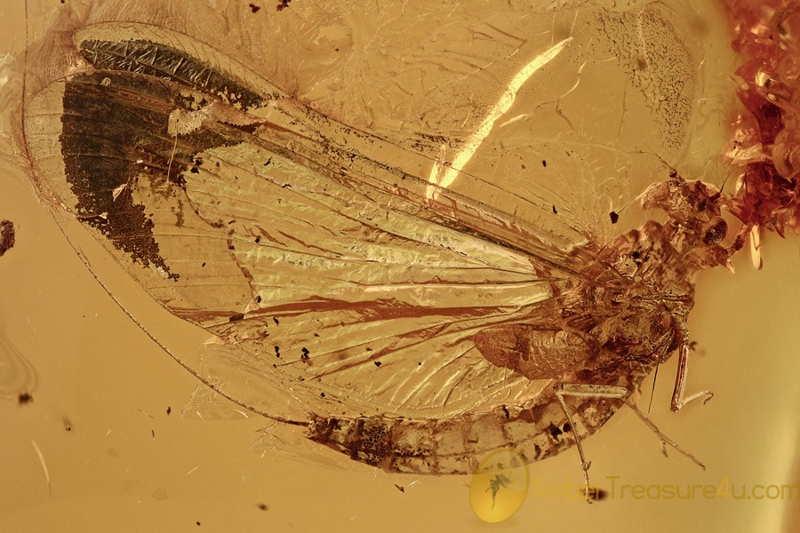 MAYFLY Great Rare Ephemeroptera Fossil Genuine BALTIC AMBER 2777