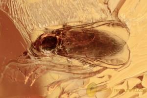 EOHELEA Rare Biting Midge Fossil & Spider BALTIC AMBER 2784