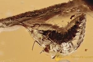 AQUATIC Larvae Neuroptera SISYRIDAE Extremely Rare BALTIC AMBER 2793