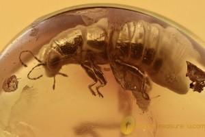 STENUS Rare Rove Beetle Staphylinidae Genuine BALTIC AMBER 2791