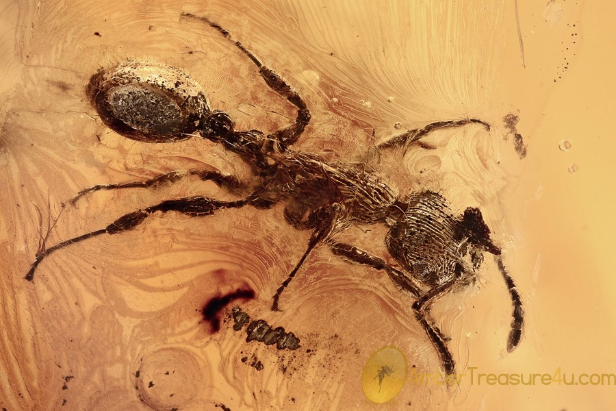 Rare MYRMICINAE Ant Fossil Genuine BALTIC AMBER 9.5g 2809