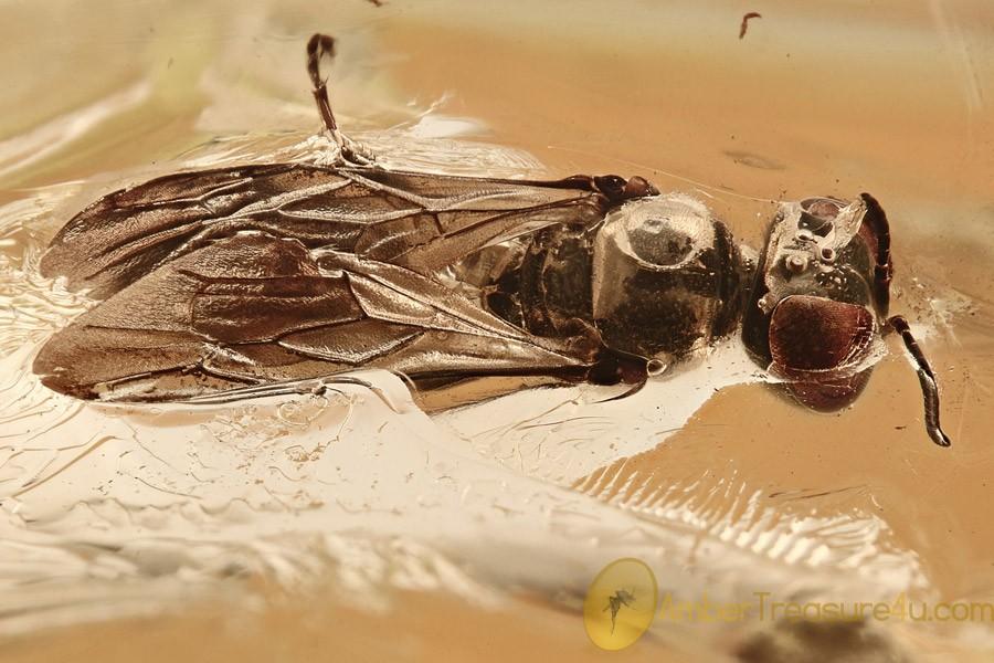 Huge APHID WASP Spheciformes Pemphredonidae BALTIC AMBER 13.5g 2814