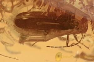 RHAGONYCHA Soldier Beetle Cantharidae Genuine BALTIC AMBER 2816