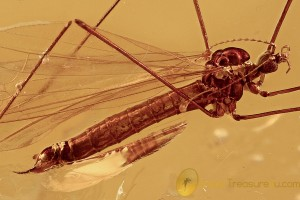 PERFECT Crane Fly Limoniidae Fossil Genuine BALTIC AMBER 2829