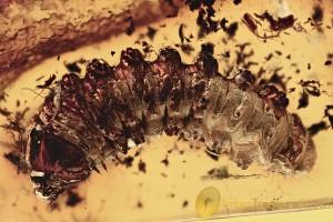 GIANT LARVAE 14mm Cerambycidae Longhorn Beetle BALTIC AMBER 2834