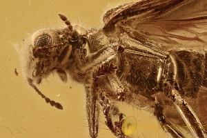 TOP Checkered Beetle Cleridae Hydnocerinae Lemidia BALTIC AMBER 2841